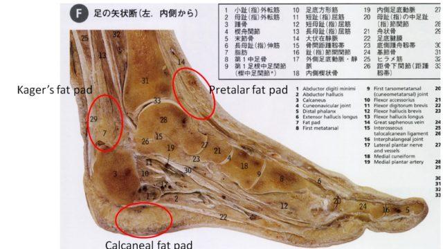 足関節には3つの脂肪体が存在
