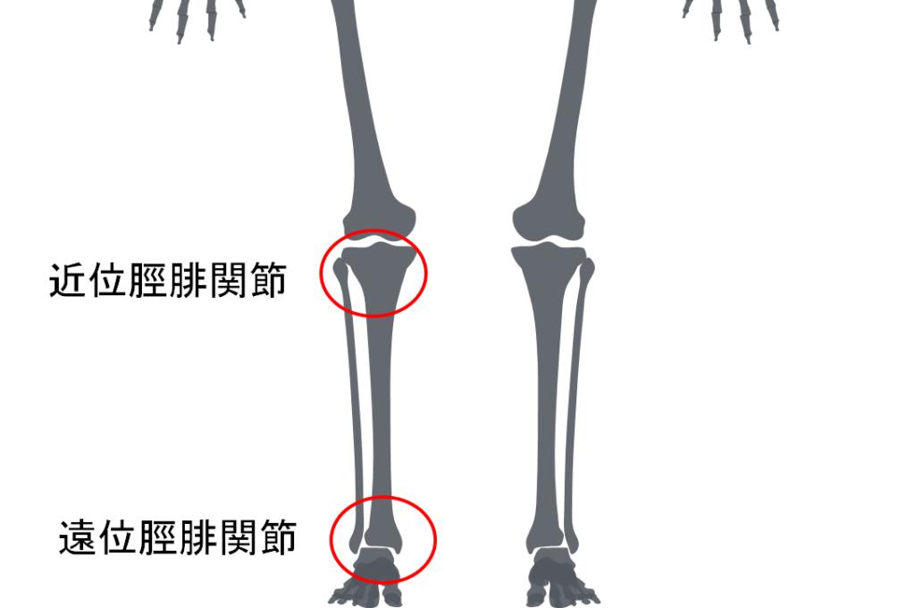 近位脛腓関節と遠位脛腓関節について