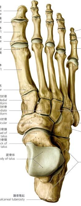 距腿・距骨下関節
