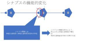 シナプス可塑性の機能的変化