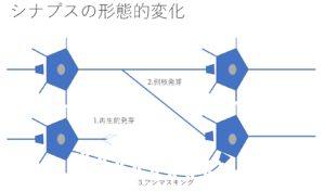 シナプス可塑性の形態的変化
